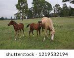 palamino  beige coloured  mare... | Shutterstock . vector #1219532194