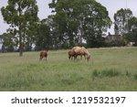 palamino  beige coloured  mare... | Shutterstock . vector #1219532197