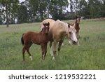 palamino  beige coloured  mare... | Shutterstock . vector #1219532221