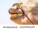 Teeth Camel. Head And Mouth Of...