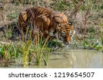 Wild Tiger Water Hole - Fine Art prints