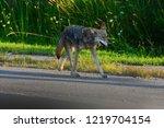 2017  Ca Summer Ca A Coyote...