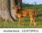 calf in the meadow. the calf on ...   Shutterstock . vector #1219739911