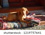 puppy of hungarian vyzhla lying ... | Shutterstock . vector #1219757641