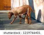 dog of hungarian vyzhla feeding ... | Shutterstock . vector #1219766401