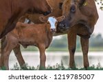 calf in the meadow with mom....   Shutterstock . vector #1219785007