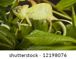 chameleon on the leaf | Shutterstock . vector #12198076