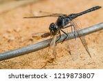 Predatory Insect Black...