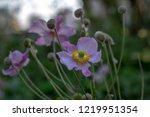 anemone hupehensis japonica...   Shutterstock . vector #1219951354