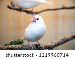 white finch bird | Shutterstock . vector #1219960714