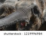 Stock photo two young and hairy sumatra elephants trying to reach something with trunks 1219996984