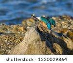 common kingfisher sitting on... | Shutterstock . vector #1220029864