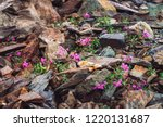 Amazing pink flowers of wormwood grows on rocks among stones close up. Rich vegetation of highlands. Mountain flora. Detailed natural background with copy space. Wonderful nature. Beautiful plants. - stock photo