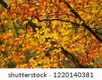 colored beech leaves during the ... | Shutterstock . vector #1220140381