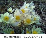snowdrops the first and most...   Shutterstock . vector #1220177431