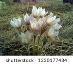 snowdrops the first and most...   Shutterstock . vector #1220177434