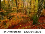 colorful beech leaves during... | Shutterstock . vector #1220191801