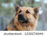 portrait of german shepherd dog  | Shutterstock . vector #1220276044
