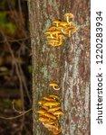 Mushrooms Growing On A Dead...