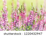 heather flowers close up....   Shutterstock . vector #1220432947