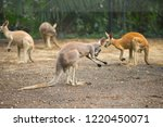 kangaroo in a zoo  portrait of... | Shutterstock . vector #1220450071