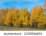 golden fall. common aspen ... | Shutterstock . vector #1220506831