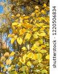 golden fall. common aspen ... | Shutterstock . vector #1220506834