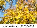 golden fall. common aspen ... | Shutterstock . vector #1220506837
