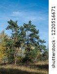 golden fall. scots pine  pinus... | Shutterstock . vector #1220516671