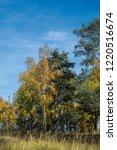 golden fall. scots pine  pinus... | Shutterstock . vector #1220516674