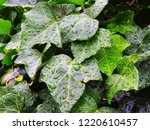 whole ivy leaves covered with... | Shutterstock . vector #1220610457
