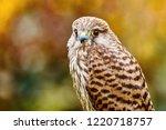portrait of common kestrel ... | Shutterstock . vector #1220718757