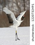 Red Crowned Crane  Grus...