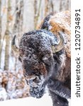 Bison Are Hardy Animals And...