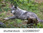 timber wolf in autumn forest | Shutterstock . vector #1220880547