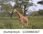 giraffes in the nature | Shutterstock . vector #1220886367