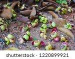 flowers and fruit of mangosteen ... | Shutterstock . vector #1220899921