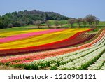 tulip field in provence  france. | Shutterstock . vector #1220901121