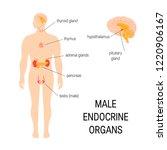 male endocrine organs. vector... | Shutterstock .eps vector #1220906167
