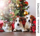 Cat And Dogs Under A Christmas...