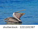 A Pelican sitting in the water eating with it