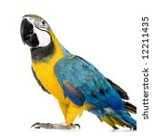 Young Blue And Yellow Macaw  ...