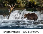 large adult male alaskan brown... | Shutterstock . vector #1221195097