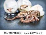 little sand lizards hatching... | Shutterstock . vector #1221394174