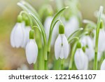 spring snowdrops flower. early... | Shutterstock . vector #1221461107