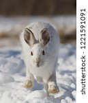 Stock photo snowshoe hare or varying hare lepus americanus isolated on white background running in snow in 1221591091
