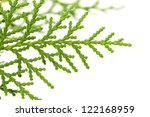 thuja on white background. macro | Shutterstock . vector #122168959