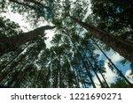 big pine at bor keaw pine park... | Shutterstock . vector #1221690271