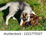 puppy miniature husky. dogs... | Shutterstock . vector #1221775327