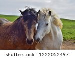 Stock photo two icelandic horses put their heads in friendship together one is white and the other dappled 1222052497